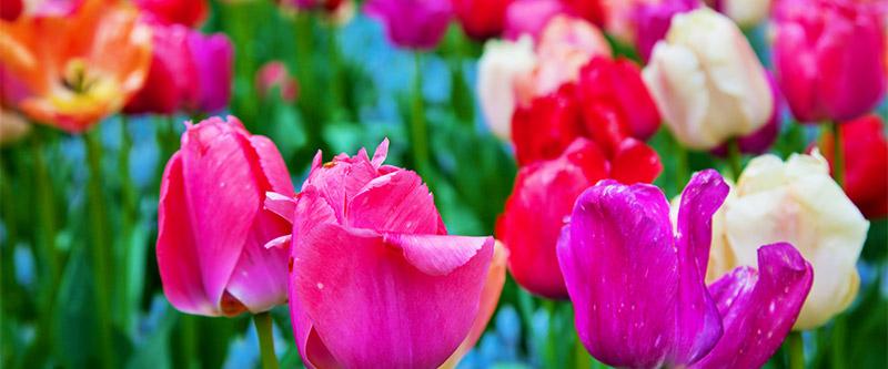 Flowers (Tulip)
